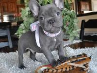 Blue male French bulldog 11 weeks old. he is beautiful