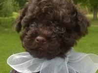 Solid chocolate male small Toy Poodle young puppy. Born