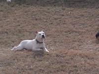 I have a 6yr old, solid white pitbul terrier for sale.