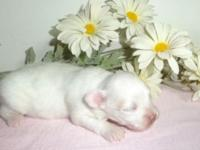 Gorgeous solid white female longhair Chihuahua. CKC
