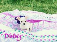 I have a beautiful solid white chihuahua puppy by the
