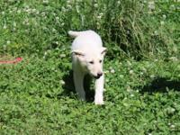 9 week old 1 male and 1 female sold white German