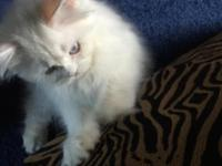 I Have A Pet Quality Persian-Himalayan, She Is Consider