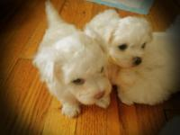 Solid white Maltipoo male Shots and dewormed record