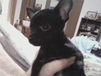 I have a solid black teacup chihuahua puppy available