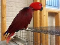 I have an 8 years of age female Solomon Island Eclectus