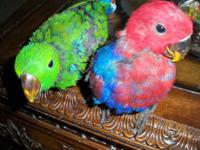 We have 1 Male and 1 Female Solomon Island Eclectus
