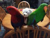 I have Very Very Sweet Solomon Island Eclectus Female.