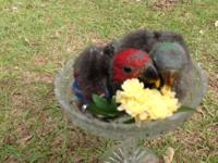 Brother and sis pure SI Eclectus on 3 feedings now. The
