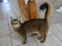 Makoto is a Somali cat which are rare in the U.S. He's