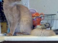 Cute Fawn Male Somali kitten available. Born August 4,