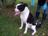 This sharp looking neutered male bulldog mix is about 1