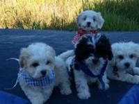 Our very sweet and loving shihpoo and cavachon had a