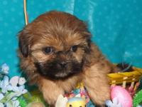 This stunning, male, Shih Tzu puppy was born on 1-31-13