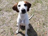 Sophia's story Sophia is a lovable young Hound. She has