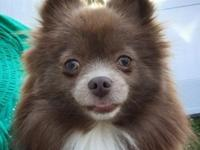 This is a beautiful beaver Pomeranian. She is sweet &