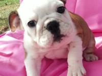 Sophie English Bulldog Puppy,Text me for more details