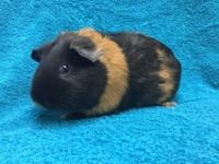 Sorority is a female orange and black ridgeback guinea