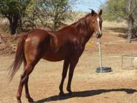 SORROW STUD FOR SALE...HAS HAD 2 COLTS, A BAY COLT AND