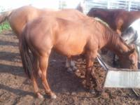 This 2 yr. old horse colt, is by Docs Jedi # 4746145,