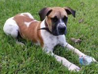I have a Male South African Boerboel (Piebald )May
