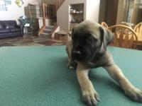 Reg South African Boerboel Pups Male & Female,