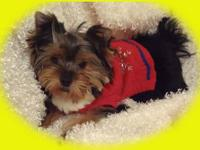 Yorkies For Sale In Minnesota Classifieds Buy And Sell In