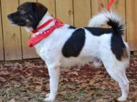 Spaniel - 22356 Woody - Medium - Adult - Male - Dog