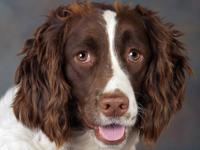 "Spaniel - Amy - ""a New Leash On Life"" Trainee - Medium"
