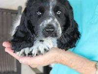 Spaniel - Baby Mozart - Medium - Baby - Male - Dog