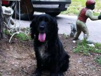 Spaniel - Daphne - Medium - Adult - Female - Dog Daphne
