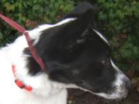 Spaniel - Davis - Medium - Baby - Male - Dog MCHS is a