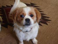 Spaniel - Ginger - Small - Adult - Female - Dog We do