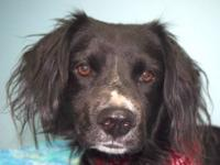 Spaniel - Jeffrey - Medium - Adult - Male - Dog SORRY,
