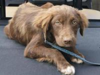 Spaniel - Lil Red - Medium - Baby - Male - Dog 6/27: