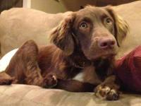 Spaniel - Lil Red - Medium - Young - Male - Dog 1/27: