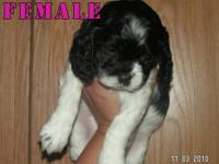 Springer/Cocker Spaniel Puppies for $300.00. They will