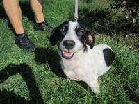 Spaniel - Queen - Medium - Adult - Female - Dog Queen,