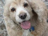 Spaniel - Simon - Medium - Adult - Male - Dog Simon is