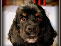 Spaniel - Sweetpea - Medium - Adult - Female - Dog