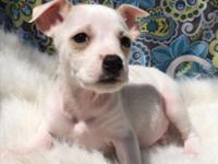 For adoption, Jack Russell x Spaniel mix puppies, they