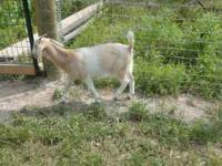For sale several spanish goats,males,females expecting