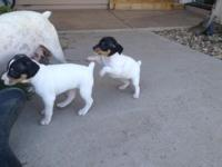 Terrier Puppies -  Similar to Jack Russells,