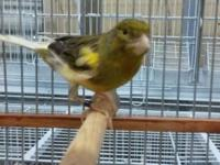 We have over 500 different breeds of canary in stock