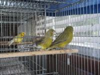I HAVE A BEAUTIFUL PAIR OF SPANISH TIMBRADO CANARIES.