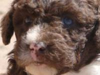 We have a new litter of spanish water dog puppies 2