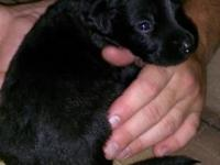 Sparky is a beautiful male F1 Labradoodle young puppy.