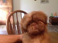 Sparky is a beautiful little Shih Tzu. He's registered