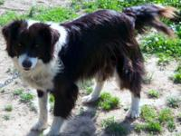 I have a 3 yr old border collie mix female dog that is