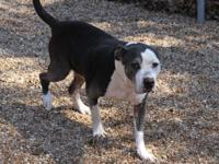 Spaz (12 years old) is a Pit Bull Terrier Dog. This